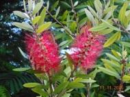 Flores del callistemon