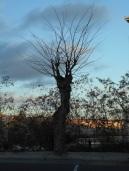 Árbol fantasma