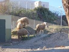 Borregos en cerro de Palma Santa