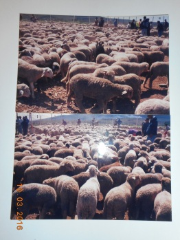 Borregos peninsulares, año 2001