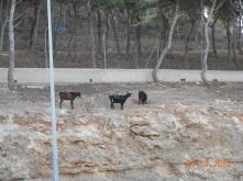 Cabras en Los Pinares