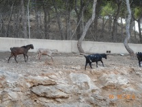 Y a la izquierda las cabras