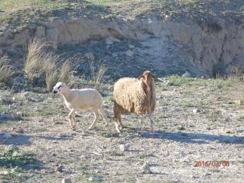 A las ovejas a la derecha