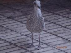 Pollo de gaviota
