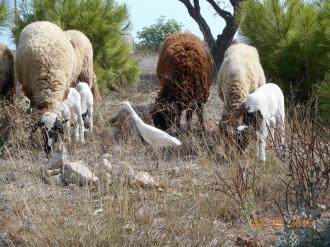 Corderos en Melilla