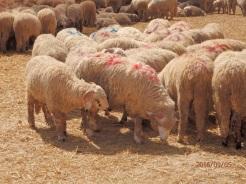 Borregos, ganadería Dina