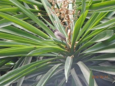 Bulbul naranjero