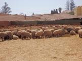 Los otros corderos