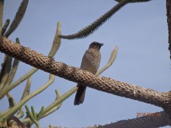 El Bulbul naranjero en Melilla