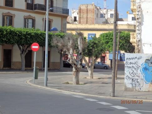 Ficus seco