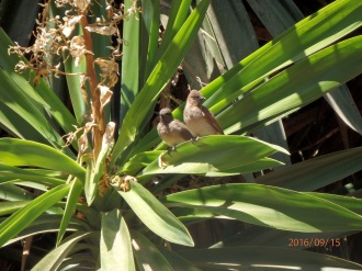 Pareja de Bulbules naranjeros