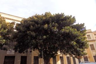 Gran Ficus de Correos