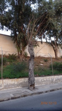 Árbol, calle alcalde de Móstoles