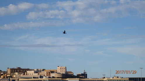 El cormorán en vuelo