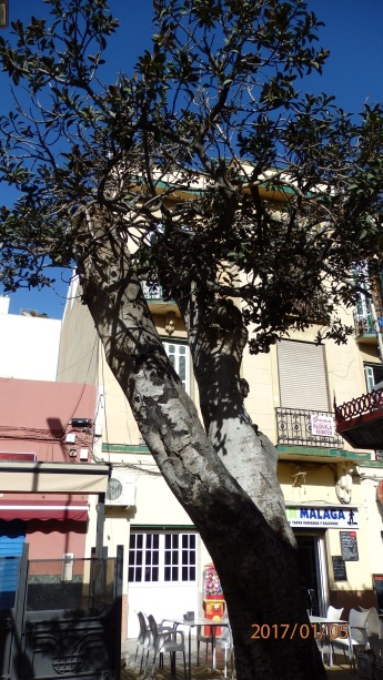 Árbol seco, calle La Legión