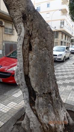 Tronco deteriorado, calle Jiménez e Iglesias