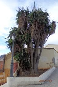 Yuca semi-seca