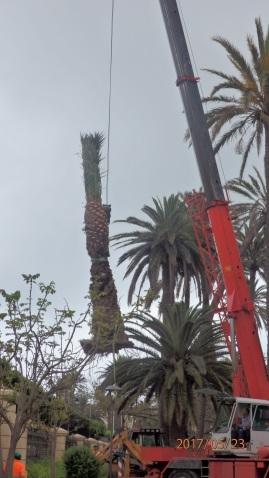 Reimplantación de palmera