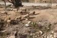 Borregos en Melilla