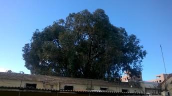Eucalipto centenario