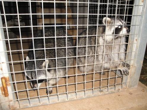Los mapaches