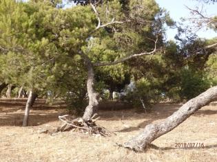 Los Pinos, árboles secos y caídos