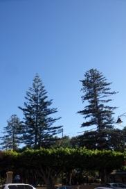Araucaria y pino australiano, parque Hernández