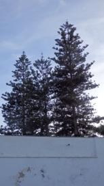Araucaria, cuartel Pedro de Estopiñán