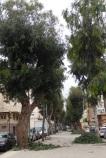 Eucaliptos, calle Mar Chica