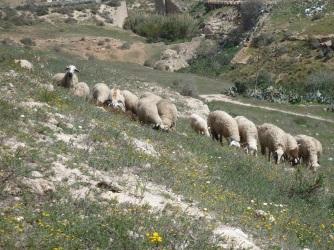 Borregos de Melilla
