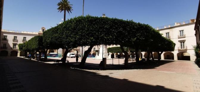 Ficus de la Plaza Vieja